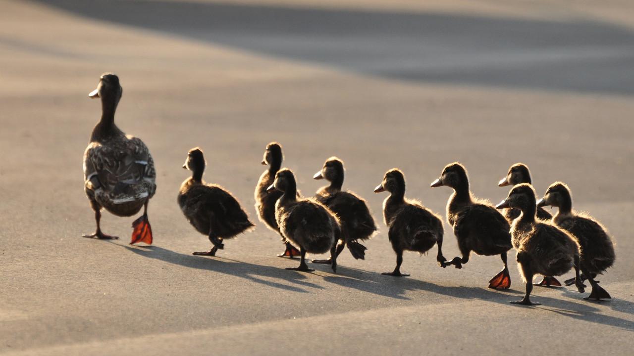 duckscrossingroad