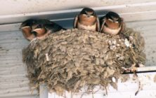 Home-Barn-Swallow-House