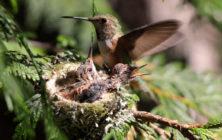 hummingbird_nest