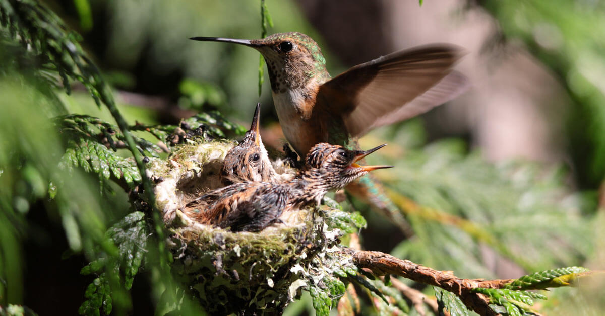 hummingbird_nest