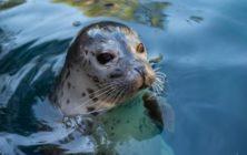 H_harbor-seal-water