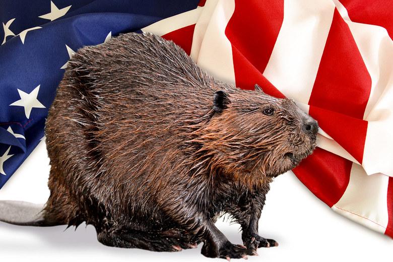 americanbeaver