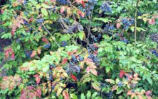 oregon-grape-
